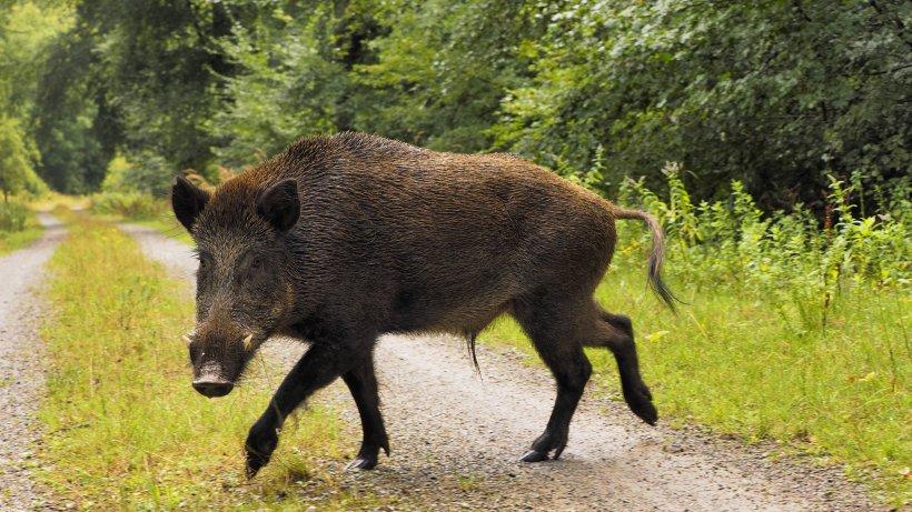 zerst u00f6rte g u00e4rten  wildschweine erobern hamburgs westen