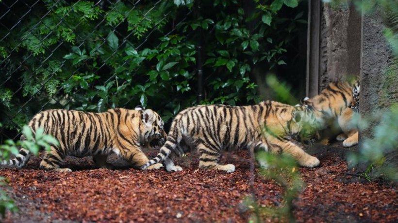 tigerbabys bei hagenbeck zeigen sich erstmals den