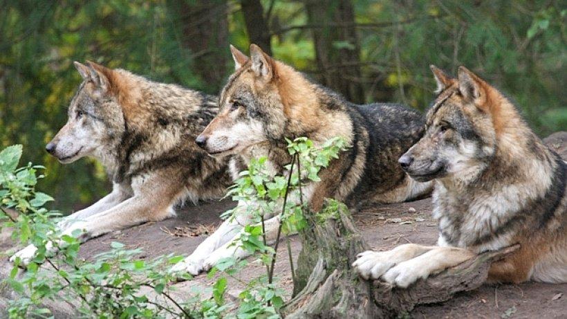 Wölfe Im Schwarzwald