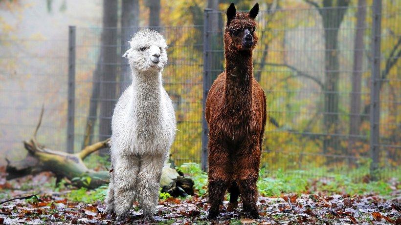 "Bald im Wildpark Schwarze Berge: ""Alpakas to go"" - Hamburger Abendblatt"