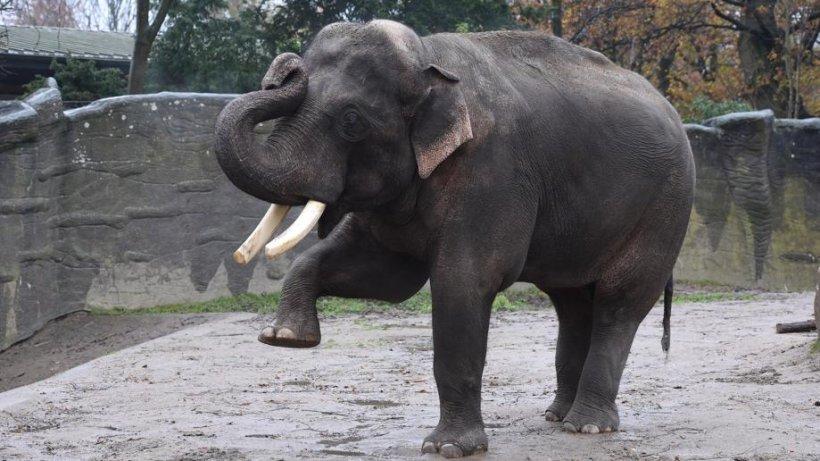 elefantenbullen in der musth