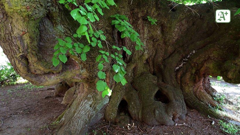 Ausflüge im Norden zu geschichtsträchtigen Bäumen