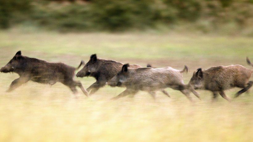 Wildschweine werden in Norddeutschland zur Gefahr
