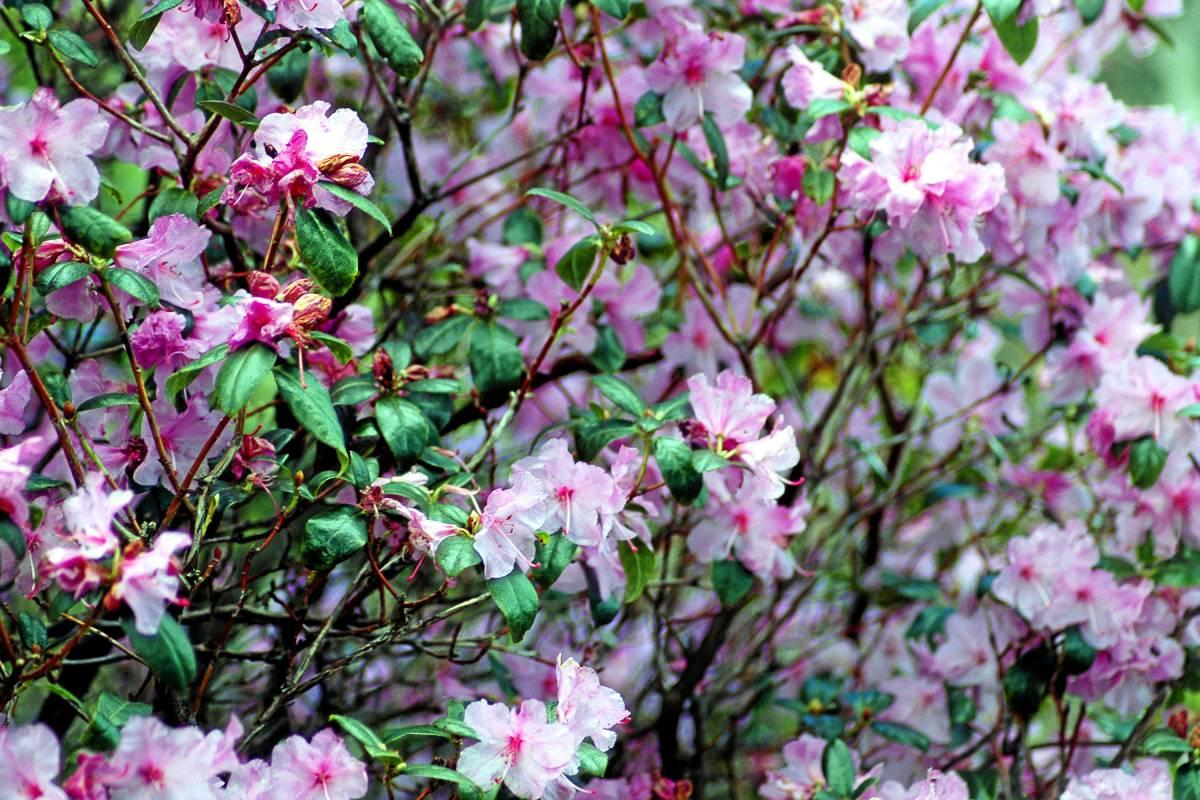 winterblühende alpenrose