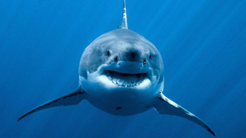 Taucher Hai
