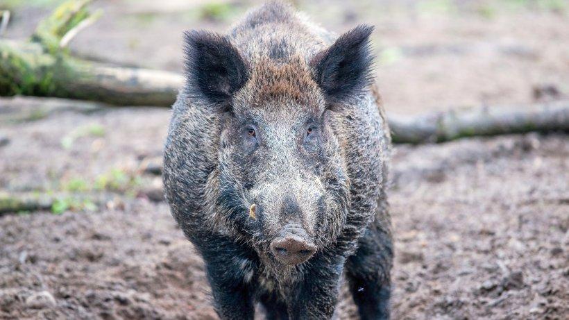Zug überfährt Wildschwein-Rotte – und blockiert die Strecke
